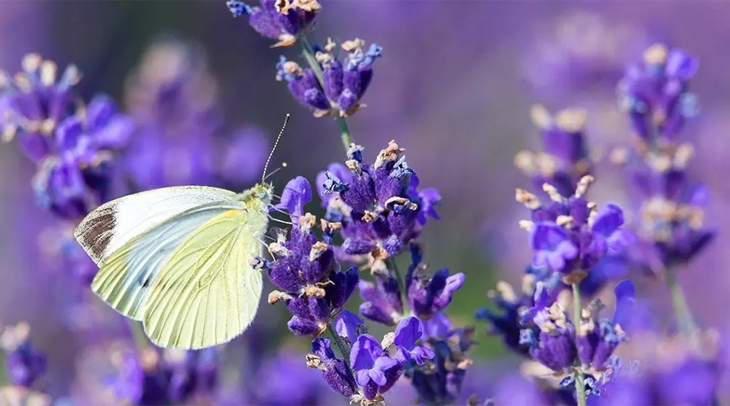 Pollinator plants butterflies love