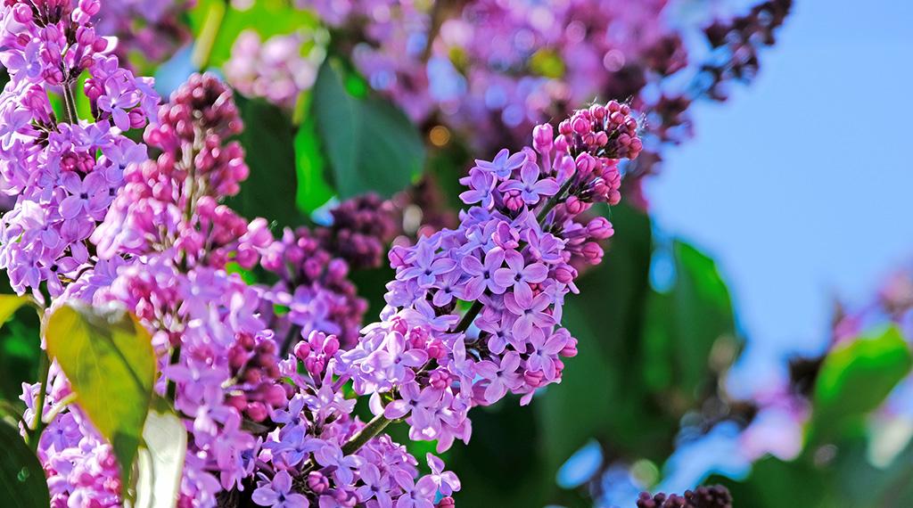 Help my lilacs