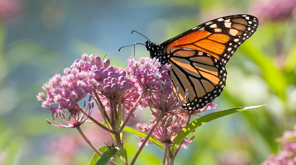 Monarchs, milkweeds