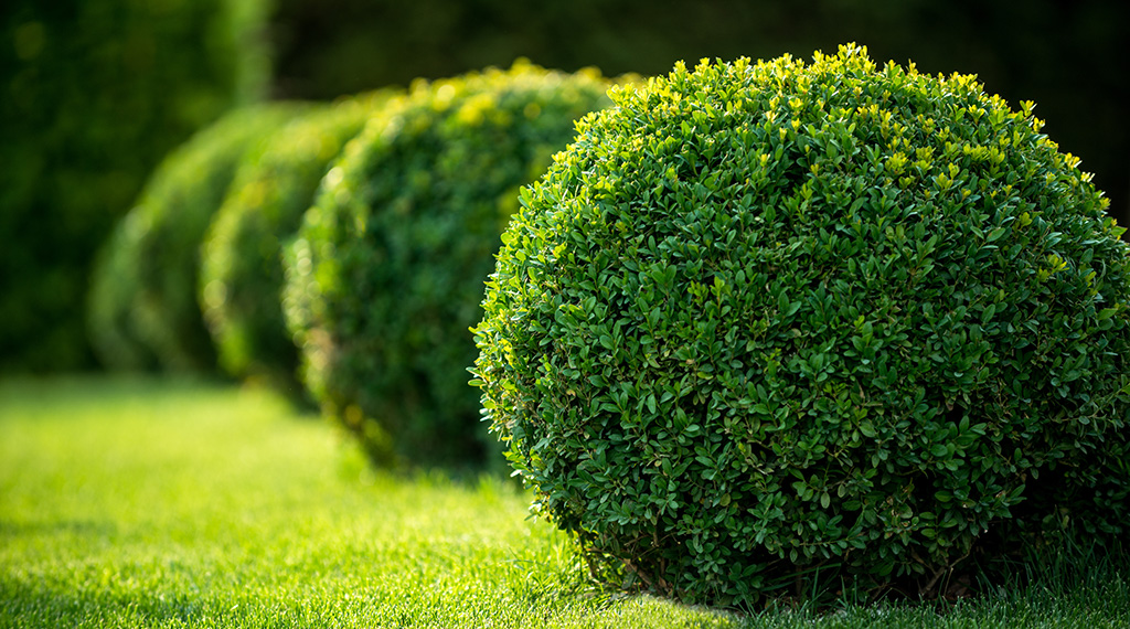 What's the matter with my boxwood?
