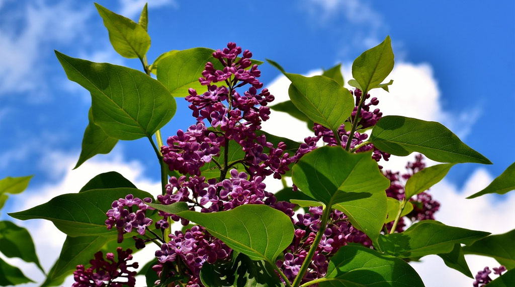 Caring for Lilacs