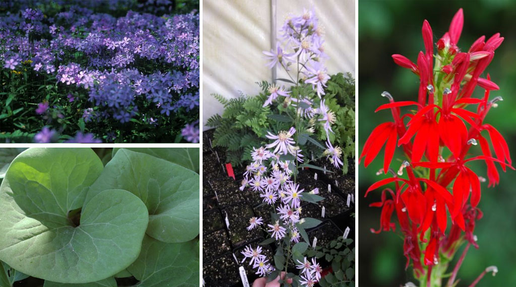 Creating Color in the Shade with Native Plants