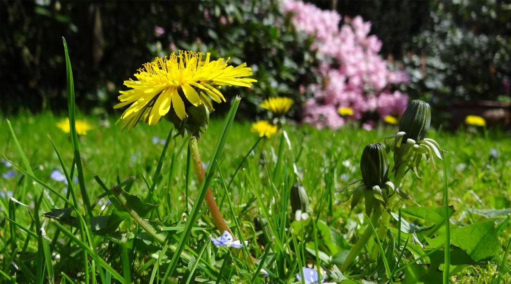 Dandelion Weed Lawn
