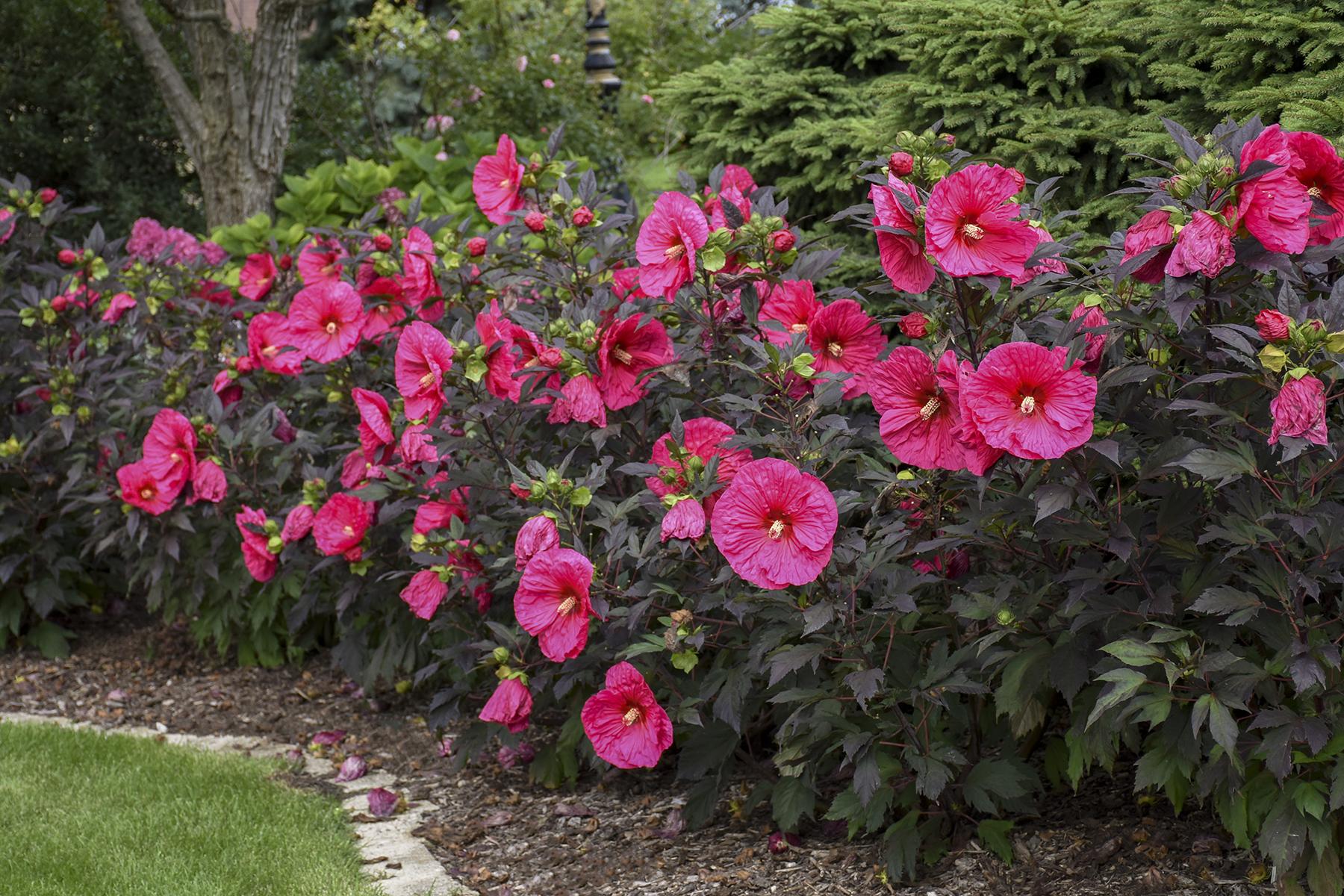 Hibiscus Evening Rose
