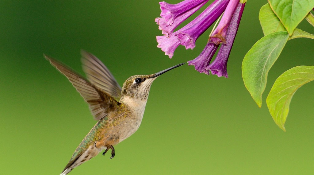 How to make your garden a hummingbird hotel