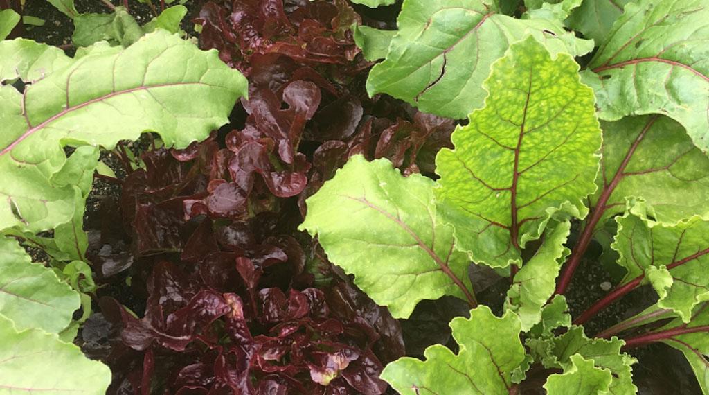 Leaf Lettuce in the Garden