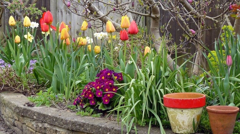 Tulips in Landscape Bed
