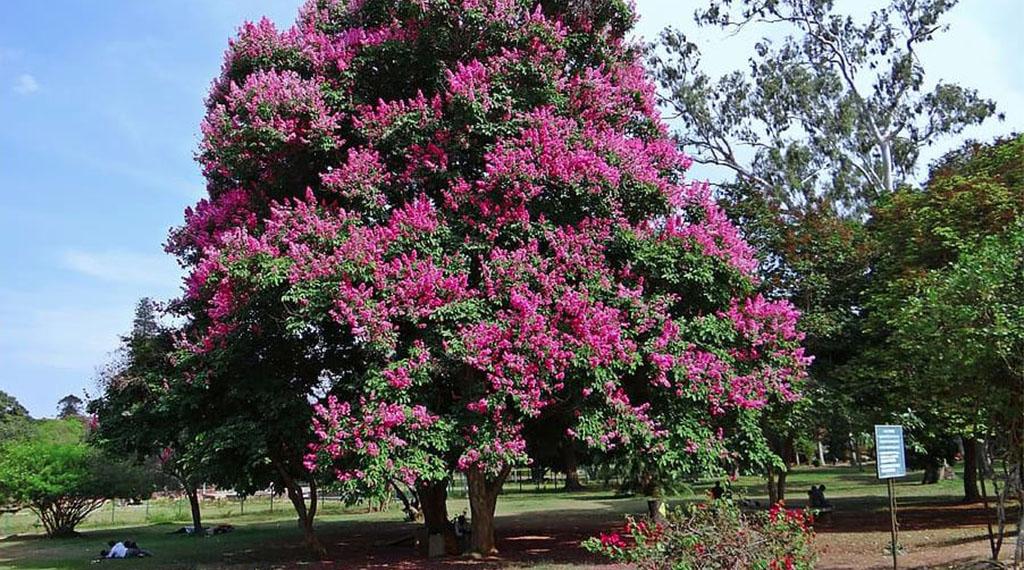 Flowering Shade Trees