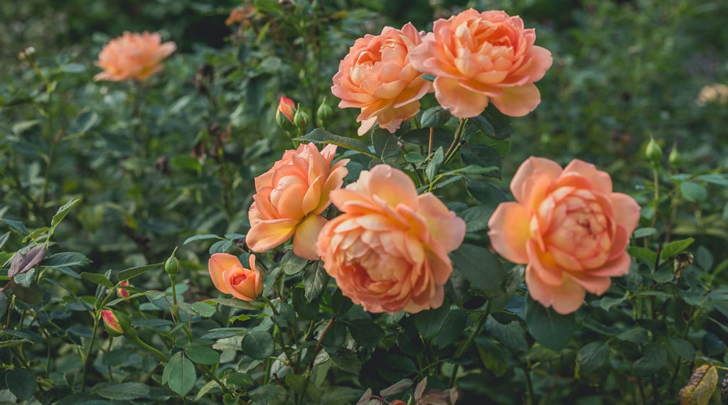 Maintaining Roses in Summer