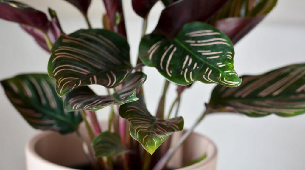 Houseplant Calathea