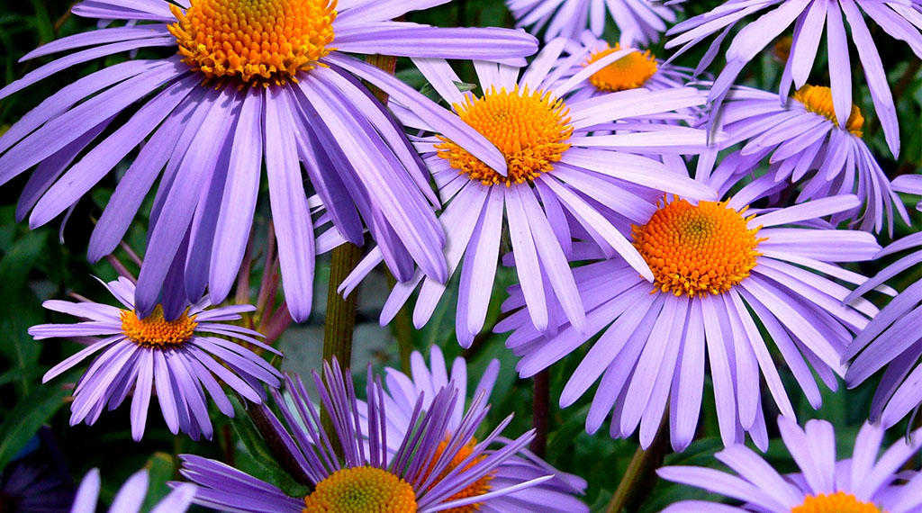 Add Color with Asters