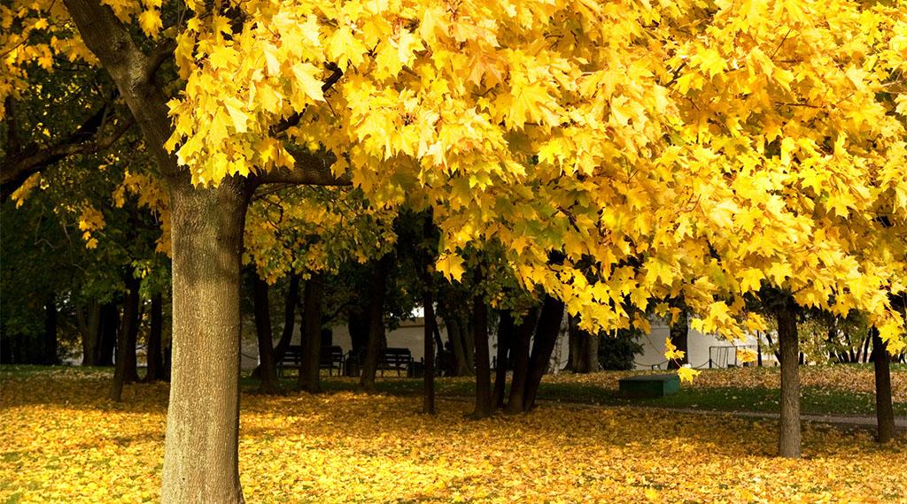 Fall Oak Tree