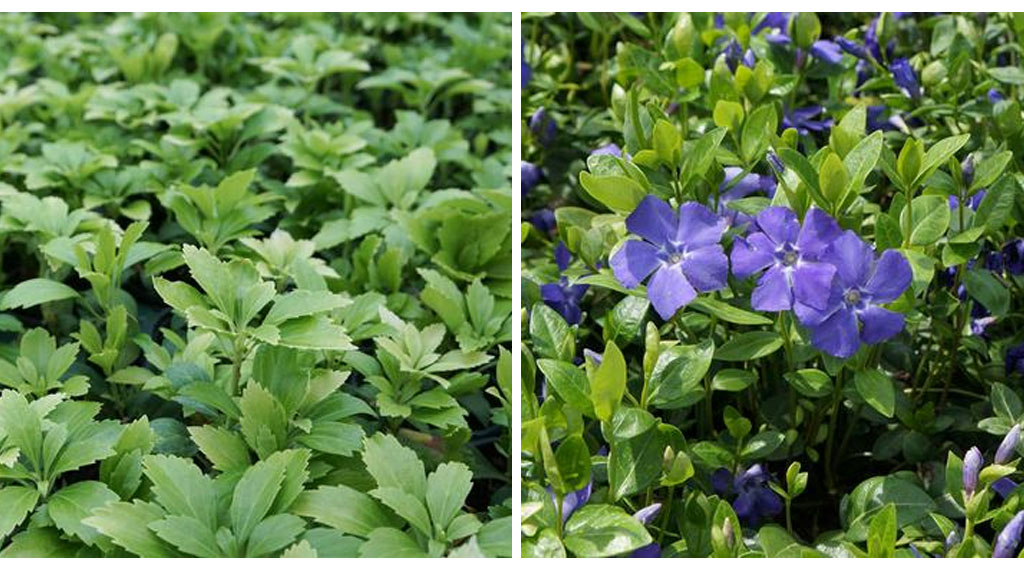 Low Maintenance Groundcover