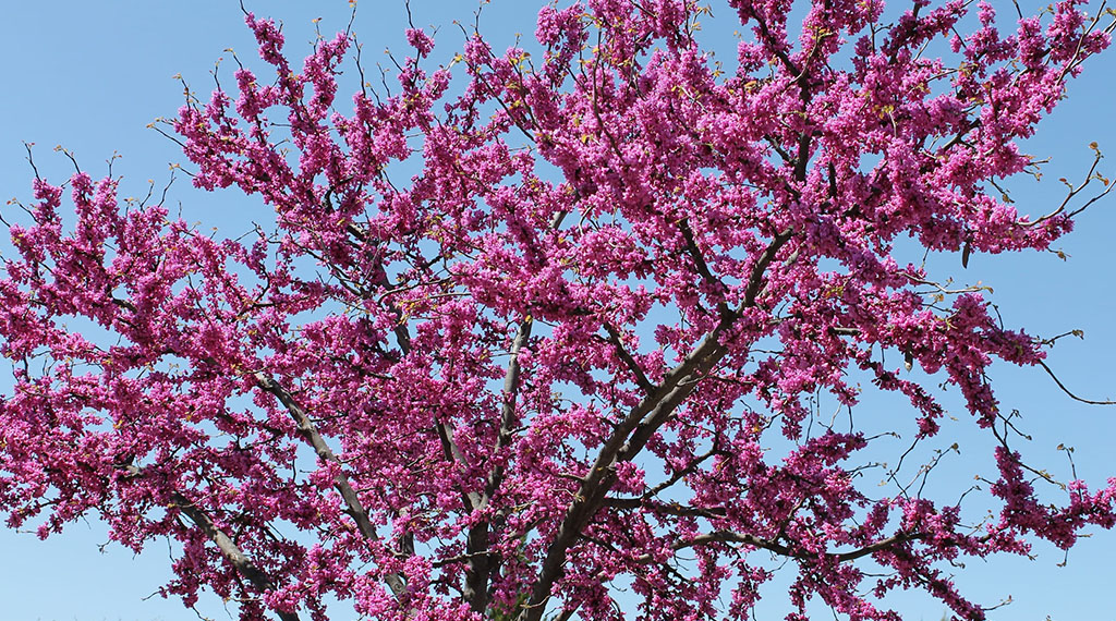 Top Four Spring Flowering Trees To Plant